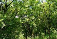 四川攀西印楝种植有限责任公司