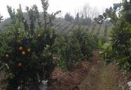 重庆市忠县有机柑橘基地